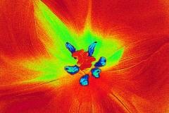roter tulpenmantel