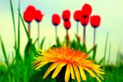 loewenzahn mit roten tulpen